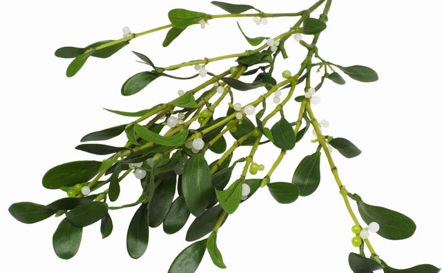 Druids believed mistletoe grew from air and was a gift of heaven.