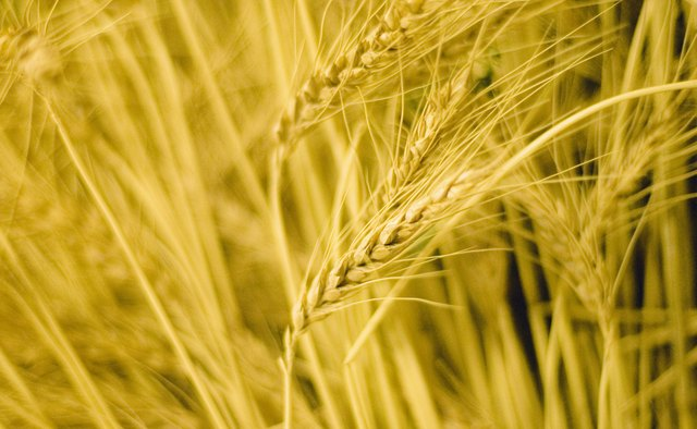 Wheat is the most extensively grown crop worldwide.