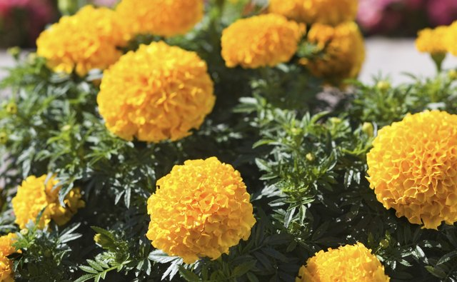 Marigolds play a significant role in Dia de los Muertos celebrations.