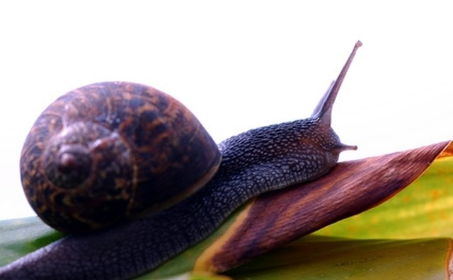 Was the 'hilazon' a snail?