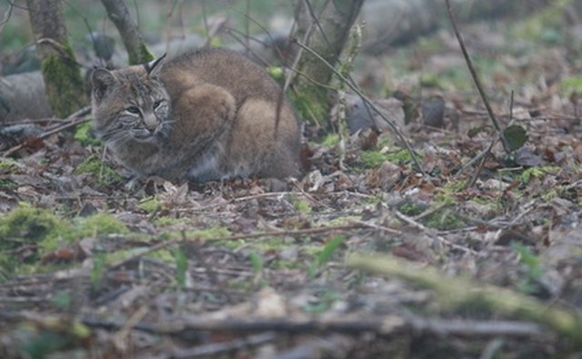 Bobcats can be hunted or trapped in West Virginia.