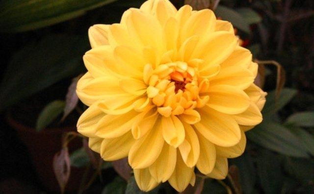 Yellow chrysanthemums are a popular flower at Chinese funerals.