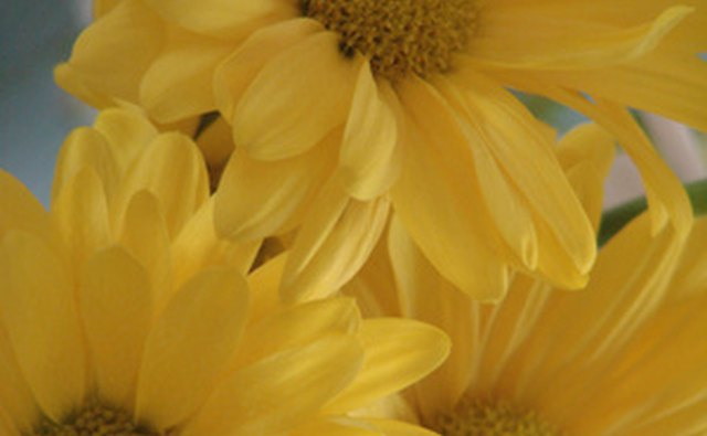 Yellow daises make for a vibrant 50th anniversary floral arrangement.