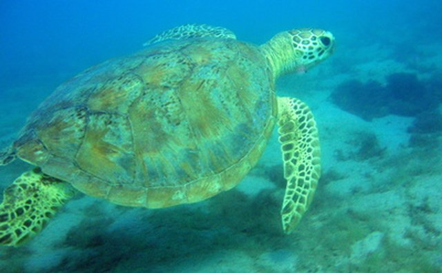 Mongabay reports a decrese in Caribbean sea turtle populations by 99 percent in 2006.