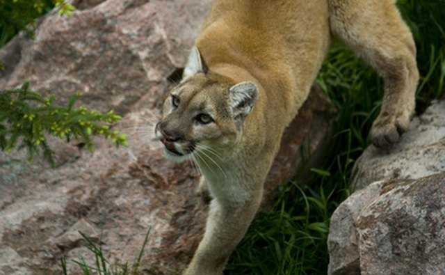 cougars in north carolina