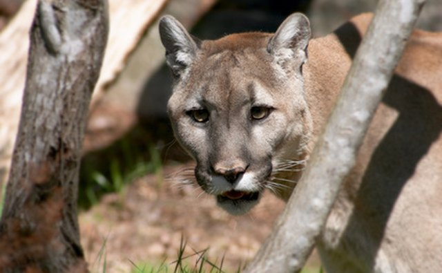 Cougars can be very large in adulthood.