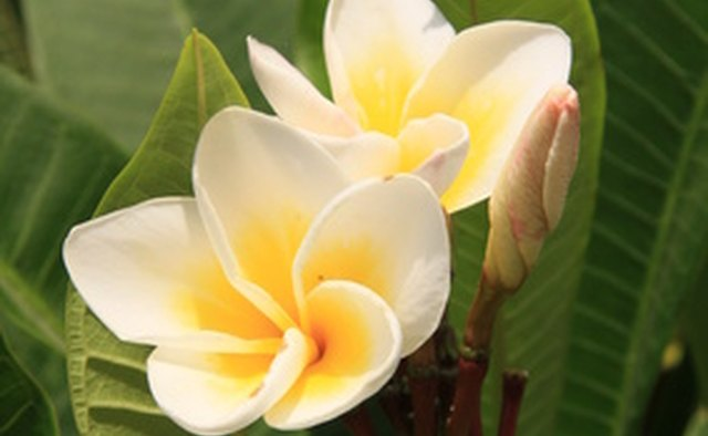 symbolic meaning of hawaiian flowers  our everyday life, Natural flower
