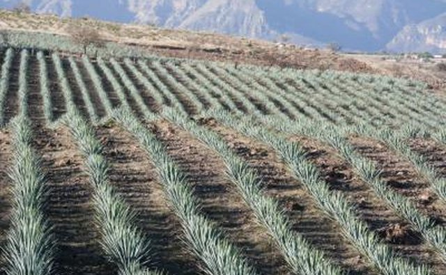 Agave field in Mexico