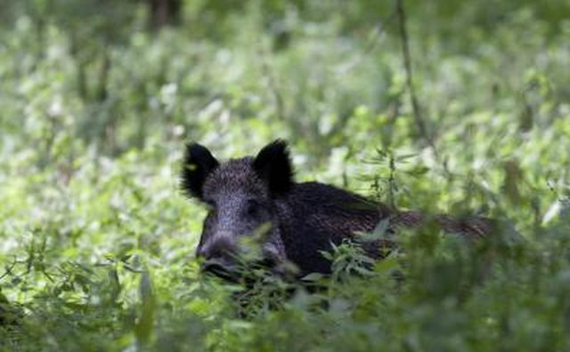A wild hog walks through lush green bushes in summer.