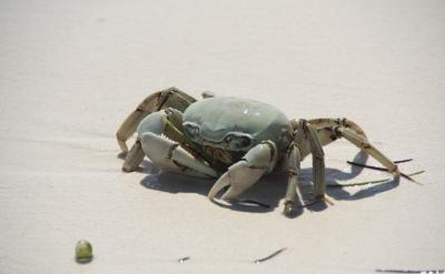 Crab on beach in Mexico
