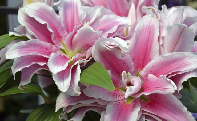 An arrangement of delicate pink stargazer lillies.