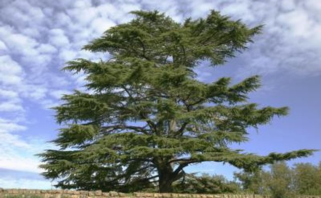 Spiritual Meaning Of The Cedar Tree Our Everyday Life
