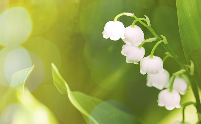 A lily of the valley flower in sunshine.
