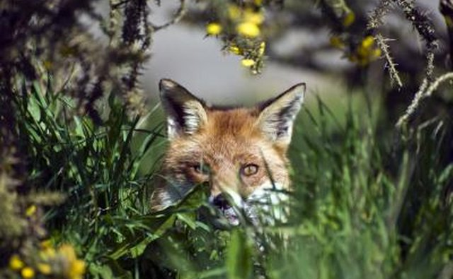 Red fox eyes are more feline like.