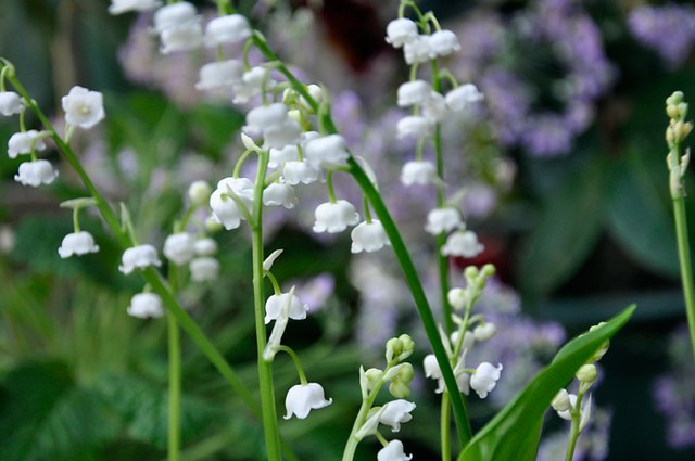 How to Force Lily of the Valley