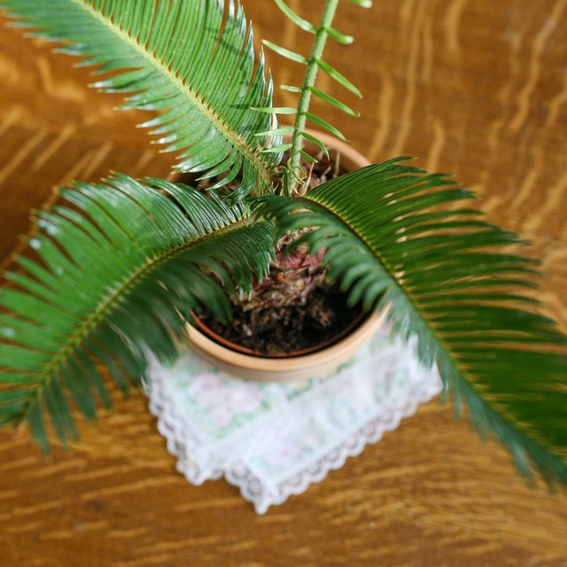 sago palm care instructions