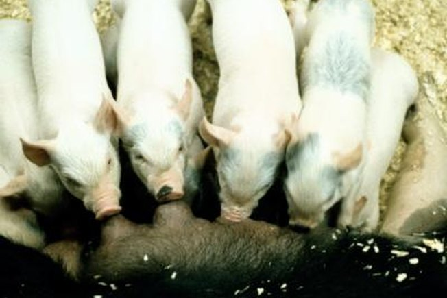 [Article Image] - What Are the Breeds of Pigs Used in Intensive Pig Farming?