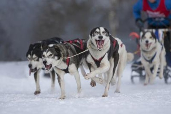 [Article Image] - How to Raise a Wolf-Husky Dog Breed