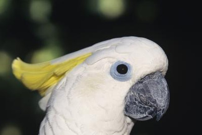 [Article Image] - How to Bond With a Cockatoo