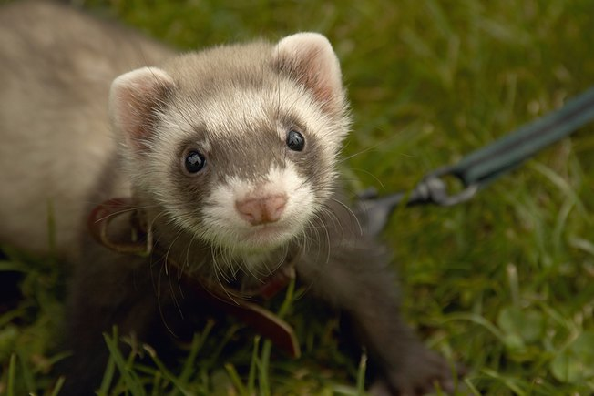[Article Image] - Do Ferrets Make a Good Pet?