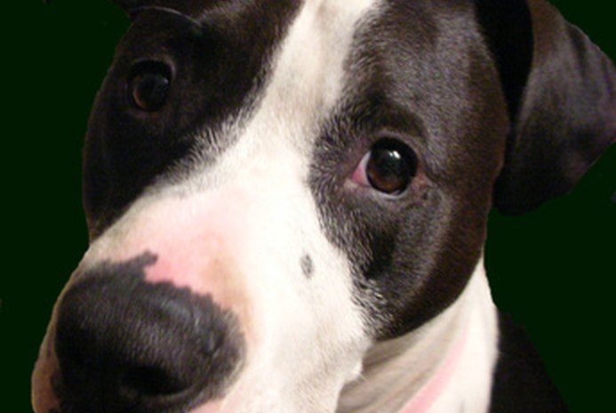 Adopting an Abused Pit Bull