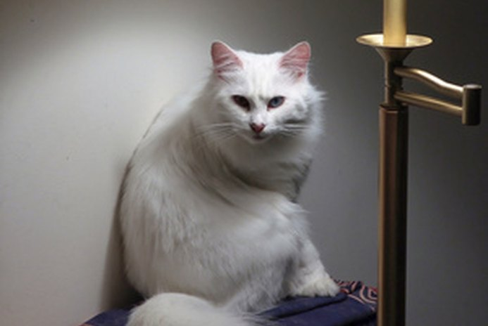 Turkish Angora Characteristics