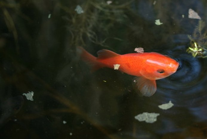 Caring for Goldfish During the Winter