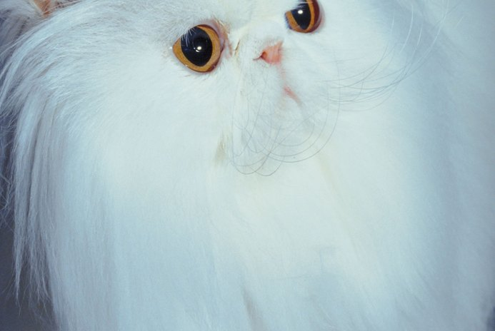 Allergy Symptoms to Long-Haired Cats