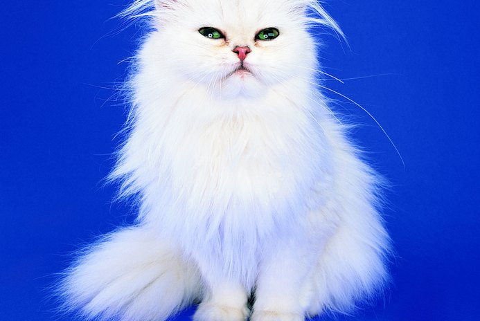 How to Bathe a Persian Cat With No Blow Drying