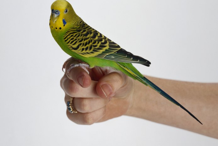 How to Hold Parakeets