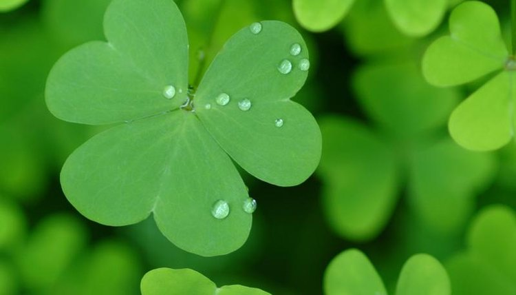 Close-up of St. Patrick's Day clovers