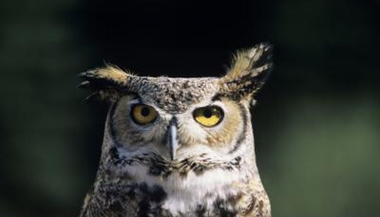 "Horned owls emit traditional ""hoot"" noises."