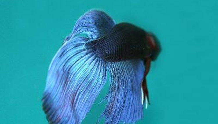 Description of a male vs female betta animals for How do you take care of a betta fish