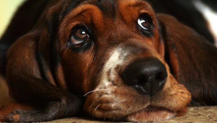 Get Rid Of Yeast Infection In Dogs Ears