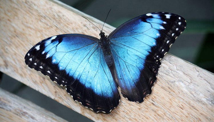 The Meaning Of A Blue Butterfly Animals Mom Me