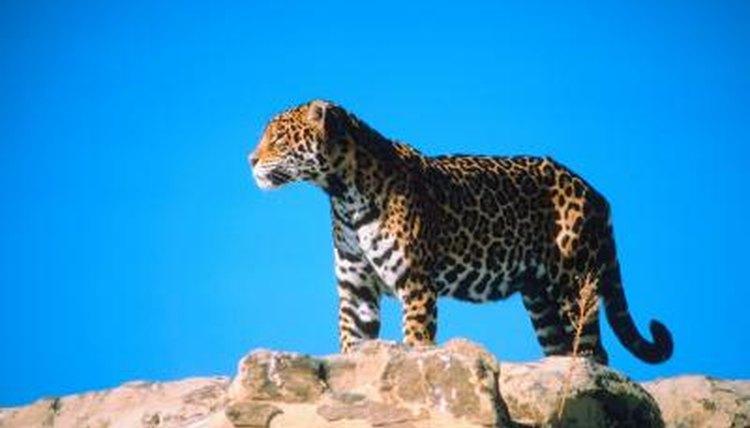 What Do Jaguars Eat >> Jaguars Animals Eating