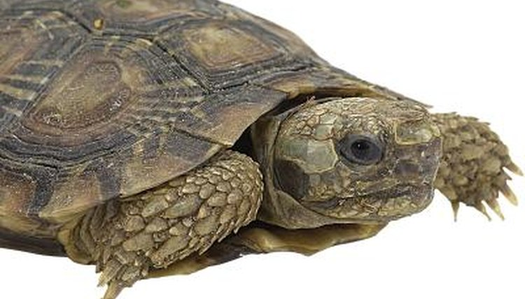 Get Your Turtle and Tortoise Question Answered Here
