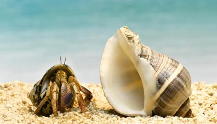 How do i determine the sex of a hermit crab
