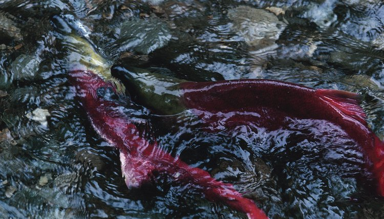 Male and female salmon swim next to each other and release their gametes for external fertilization.