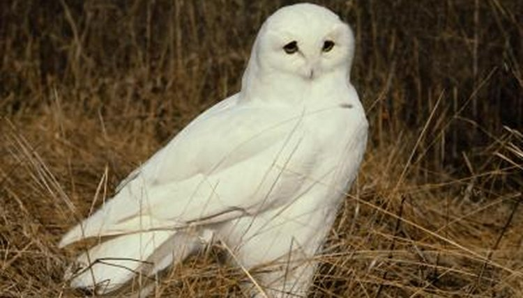How Are Male & Female Snowy Owls Different?   Animals - mom.me