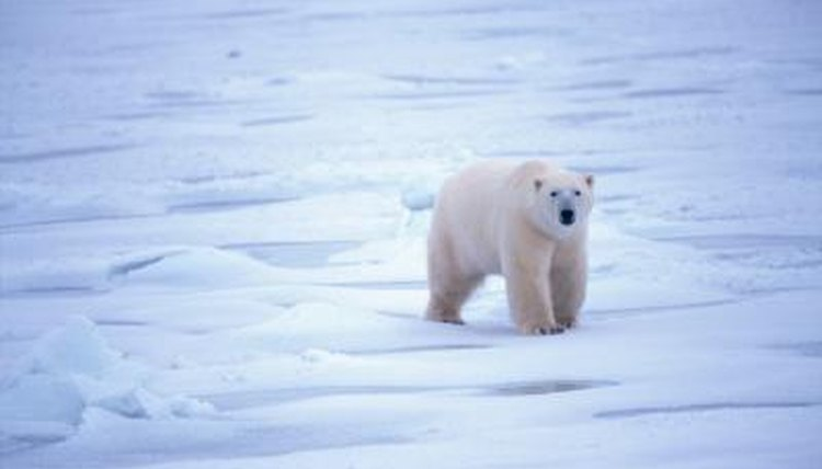 What Continents Do Polar Bears Live on? | Animals - mom.me