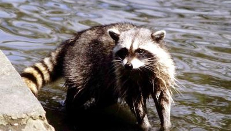 Foods that raccoons eat animals for Do raccoons eat fish