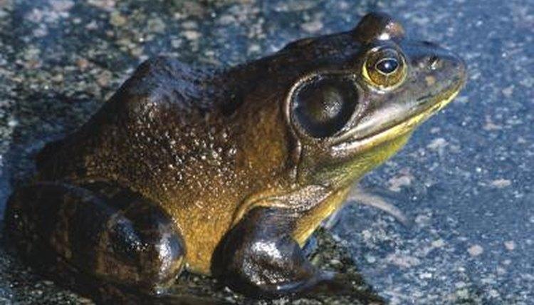 texas giant frog