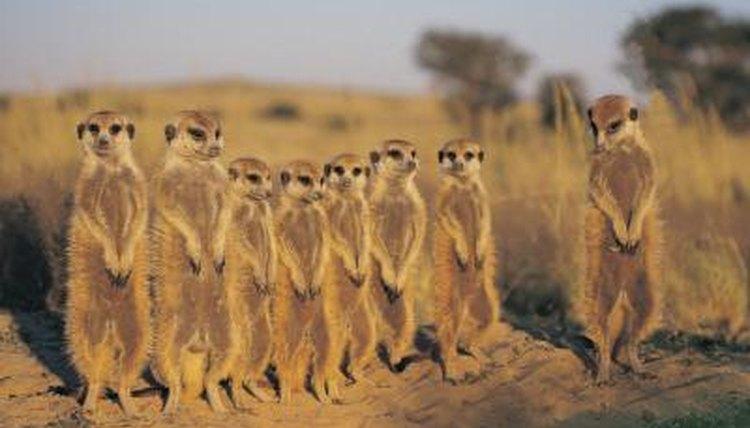 Animals of Africa's Kalahari Desert | Animals - mom.me  Animals of Afri...
