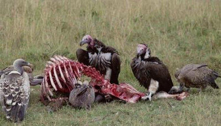 Do Vultures Have a Sen...