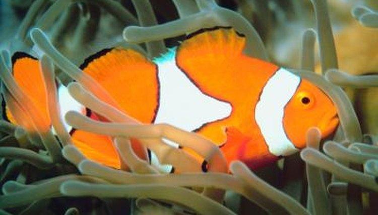 Clown Fish Aquarium Requirements | Animals - mom.me