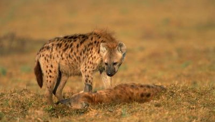 Are Hyenas Dogs Or Cat Family