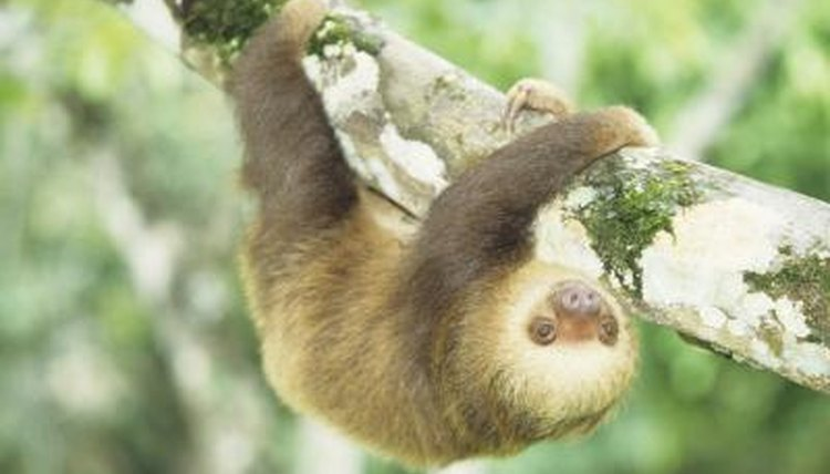 What is a sloths diet?