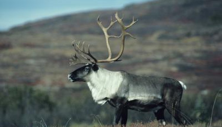 Caribou Adaptations in the Tundra | Animals - mom.me