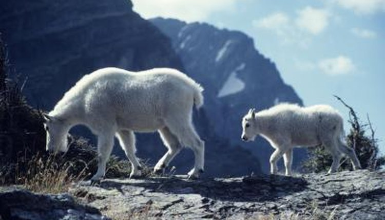 What Are Some Endangered Species in the Alpine Tundra? | Animals ...